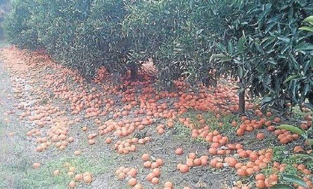 Una vista en el establecimiento del productor citrícola Ricardo Rigoni con la fruta tirada en el campo.