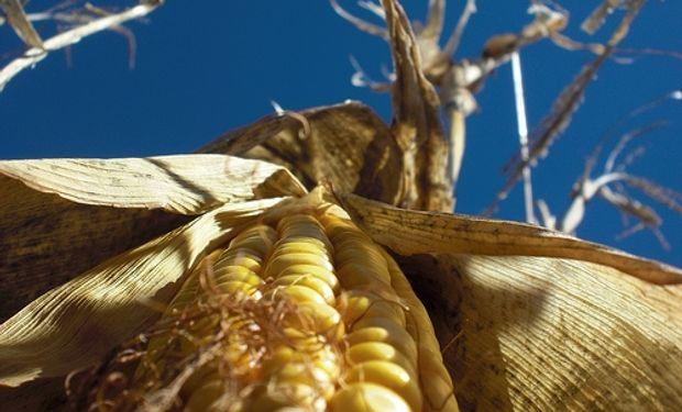 En dos semanas el maíz local cayó $ 200/ton