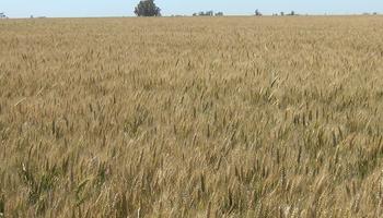 Sin enfermedades y con alto contenido de proteína y gluten: con qué calidad cerró la campaña el trigo del centro
