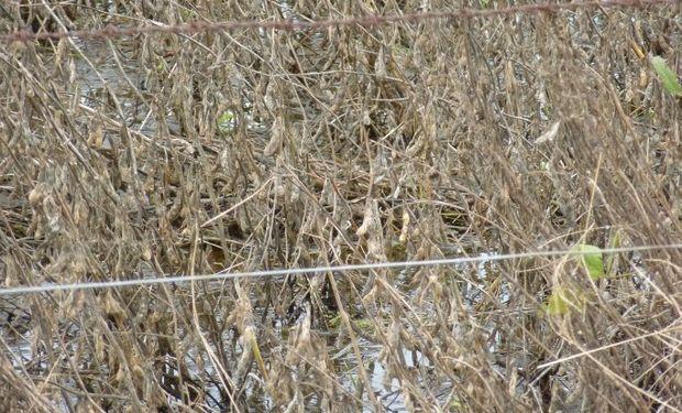 Cámaras de Cereales están recibiendo comentarios de algunos industriales sobre dificultades por la menor calidad de la soja en este ciclo.