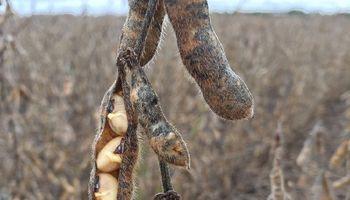 Consejos frente al deterioro de la calidad sanitaria de la soja
