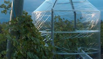 En Mendoza, el clima cambia y la vid se adapta