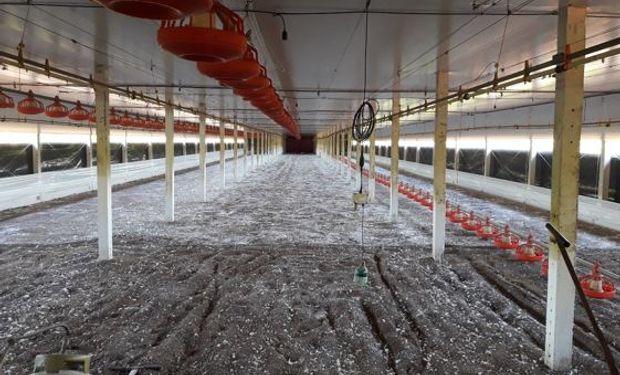 Camas para la producción de pollos: recomendaciones de manejo para aprovechar el potencial genético