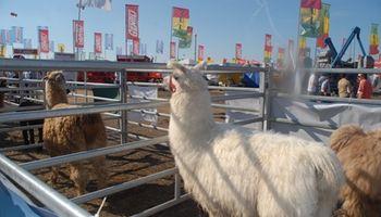 Una vez más el sector de camélidos será un gran atractivo en AgroActiva