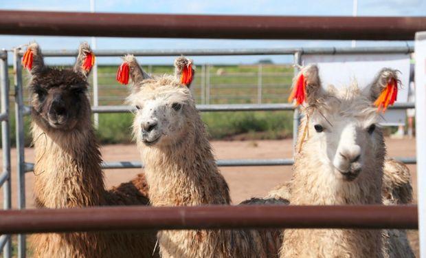 Nuevamente el sector de camélidos estará en Expoagro, con la presencia de llamas y alpacas. Fuente: Expoagro.