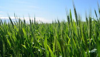 Primeros pasos firmes en el trigo