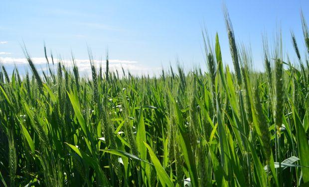 Se anticipan muy buenas perspectivas de crecimiento en el área de siembra de trigo.