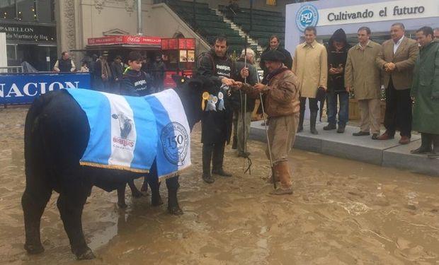 El Gran Campeón Hembra Brangus, box 823. Foto: La Nación