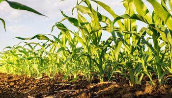 Cuidando la productividad en los maíces Bt