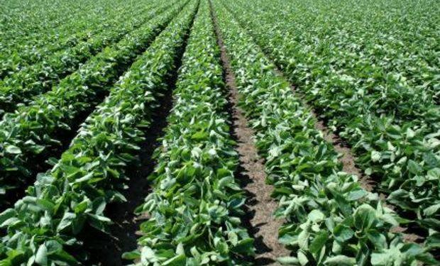 La soja, nuevamente el cultivo favorito de los agricultores argentinos