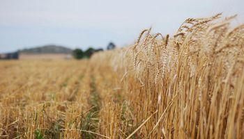 La cosecha de trigo no fue rentable en Santa Fe