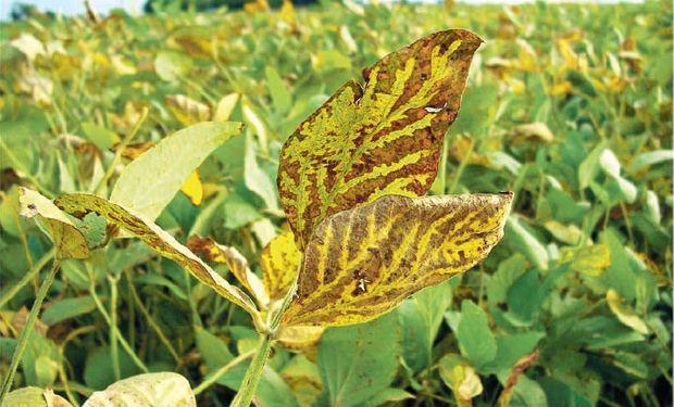 Investigan síndrome de muerte súbita en soja