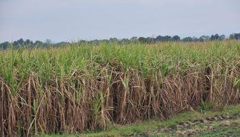 Confirman que la caña de azúcar emite menos gases efecto invernadero