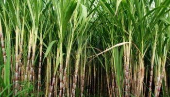 Productores cañeros cuestionaron las medidas para el sector del azúcar