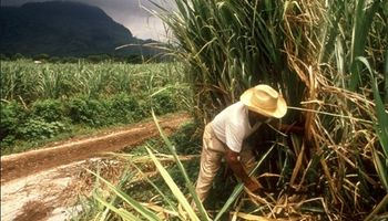 Un antisuero argentino para defender la caña de azúcar