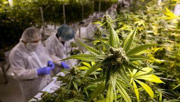El cannabis, a la conquista del campo
