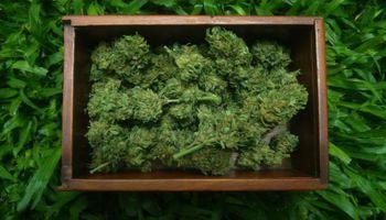 """Desde la Facultad de Agronomía de la UBA destacan: """"Existe mucho desconocimiento sobre el Cannabis"""""""