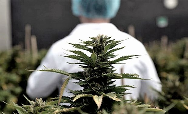 El INASE realizará un relevamiento de la genética nacional de cannabis