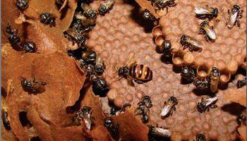 Descargá el libro del INTA sobre el manejo de abejas nativas sin aguijón