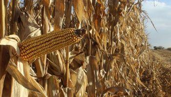 Destacan excelentes rindes en la cosecha de lotes tempranos de maíz