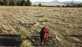 Arreo de ganado con un drone: un experimento en Sierra de la Ventana