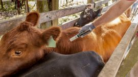 Buenos Aires lanza la campaña de vacunación contra el carbunclo bacteriano
