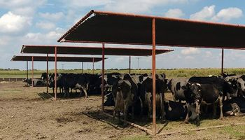 Alerta por altas temperaturas y estrés por calor en bovinos