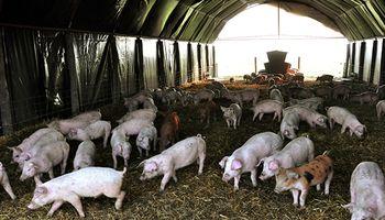 Día de la Porcicultura: por qué se celebra hoy