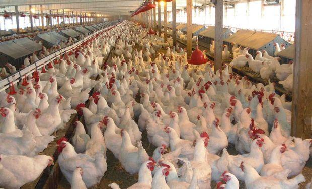 Bajas para el precio minorista del pollo entero.