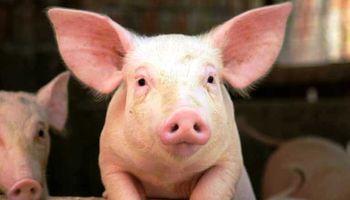 En Uruguay avanza el cerdo