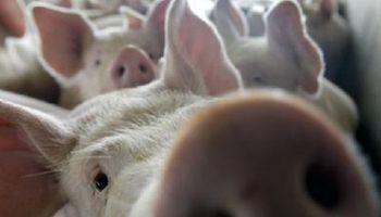Acuerdo para reducir la importación de cerdo está cerca