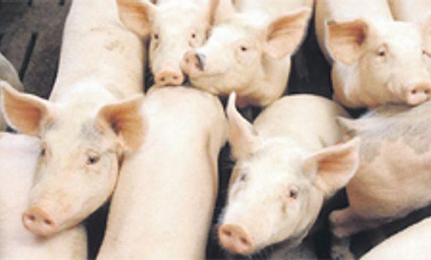 Sube la producción de carne porcina: 7,6%