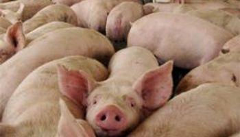 La carne de cerdo avanza con fuerza
