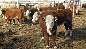 En la Patagonia, 60% de la carne vacuna que se consume es de otras provincias