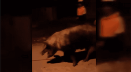 """""""Es una salvajada lo que hicieron"""": carnearon en la calle a un chancho robado de un centro de zooterapia"""