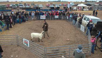 El carnero campeón de Agroactiva se vendió en 25 mil pesos