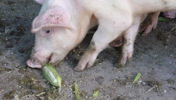 ¿Qué comerán los cerdos en el futuro?