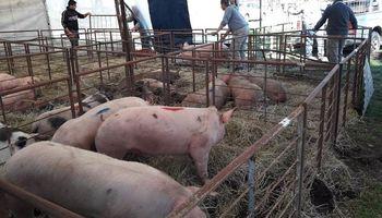 La Rural sin cerdos: prohíben la presencia de porcinos en exposiciones públicas