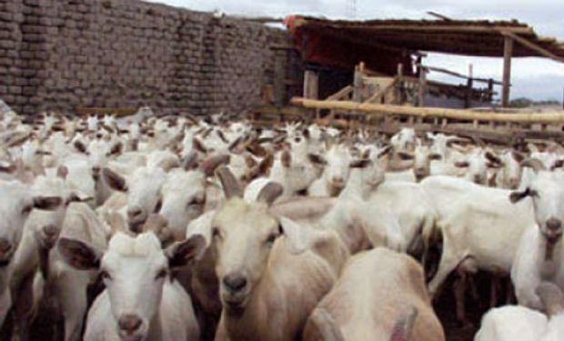 Primera carga de caprinos faenados en el norte de Santa Fe