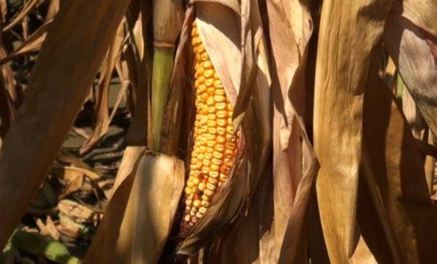 El maíz se vio presionado principalmente por las ventas técnicas y la abundante oferta global ante la proximidad de otra cosecha récord.
