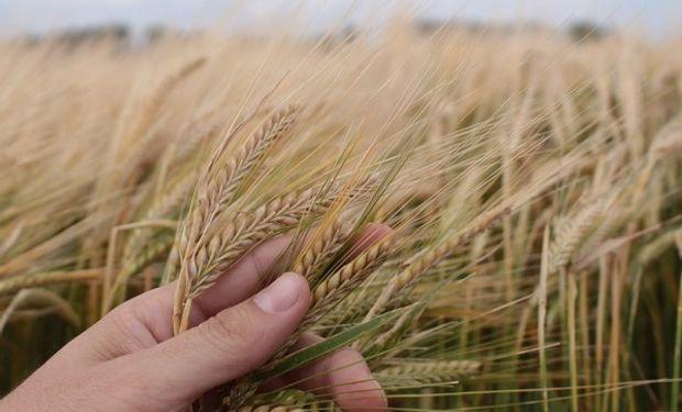 Buenos Aires concentra el 97% de la producción de cebada.