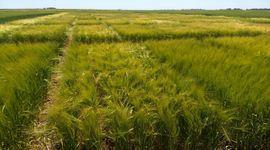 El futuro de la cerveza nace en el campo: 9 productores que ya incorporaron cebada regenerativa