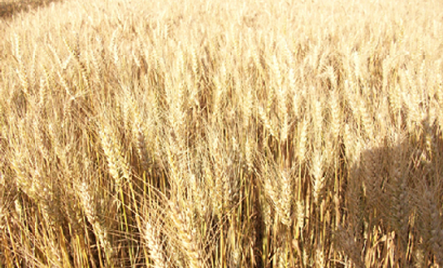 Un manejo integrado de enfermedades teniendo como pilares el tratamiento de semillas contribuirían a reducir el inóculo inicial y proteger la semilla de patógenos habitantes del suelo.