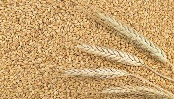 Cebada con precio similar al trigo