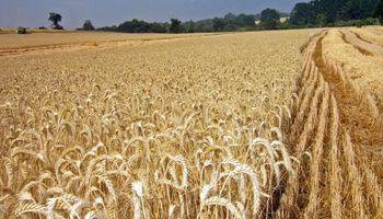 La cebada, con mejores márgenes brutos que el trigo