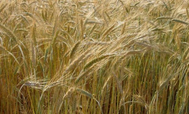 Se sembraron unas 1,05 millones de hectáreas de cebada en el país.