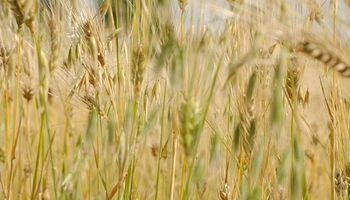 Mercado de cebada: Argentina, entre los principales productores