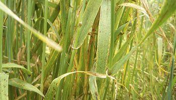 Cómo proteger a la cebada del salpicado necrótico