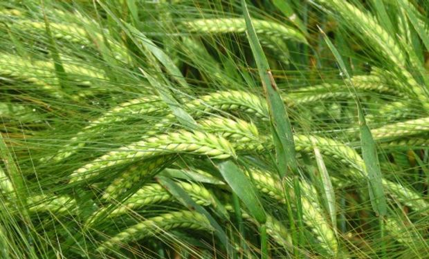 Trigo y cebada: la inversión de los productores superará los US$ 1.900 millones