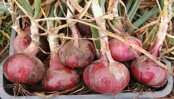 Victoria y Paula: las variedades femeninas detrás de la cebolla de verdeo